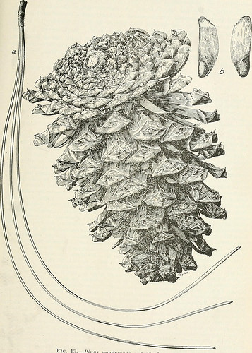 "Image from web page 53 of ""Forest trees of the Pacific slope"" (1908)"